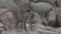 Crab-eating Macaques briefly mate on a rock beach; female starts fighting with male
