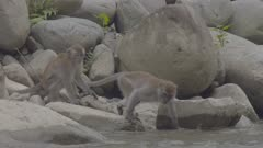 Two Crab-eating Macaques fighting at the edge of a rock beach; possible male trying to mate with female