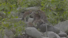 Male Crab-eating Macaque trying to mate with female on rock beach