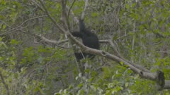 Adult Siamang climbing on a tree branch, facing away from camera, is joined by another adult Siamang