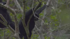 Two adult Siamangs sitting on a branch, looking around themselves into the canopy; could have spotted something