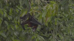 Slow motion shot of two adult Fruit Bats mating.  Quite graphic!
