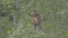 Sumatran Surili Monkey sitting in a tree feeding on leaves