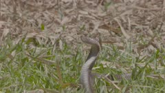 Juvenile Javan Spitting Cobra reared up in defensive position, poised to spit