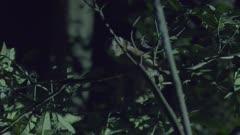 Sunda Slow Loris climbing up a tree at night at the Bali Zoo