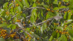 Two Yellow-Vented Bulbuls foraging in fruiting tree