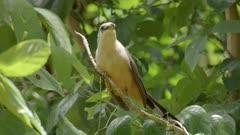 Puerto Rican Lizard Cuckoo in tree, stares into camera