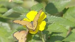 African monarch butterfly feeding from flower