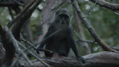 Sykes' Monkey (Blue Monkey) curious about camera