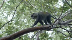 Sykes' Monkey (Blue Monkey) climbing through trees