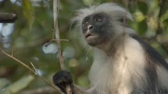 Zanzibar Red Colobus monkey sitting in tree