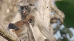 Zanzibar Red Colobus monkey mother and baby sitting in Indian Almond tree