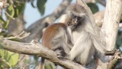 Mother and baby Zanzibar Red Colobus monkey asleep in tree