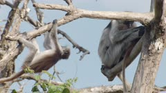 Baby Zanzibar Red Colobus monkey hanging off branch in Indian Almond tree; another Mother and Baby cuddle nearby