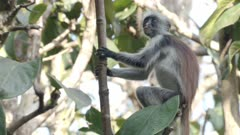Young Zanzibar Red Colobus monkey scratching and feeding in tree