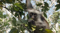 Great shot of baby Zanzibar Red Colobus monkey swinging in tree, sucking on leaf and climbing