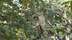 Baby Zanzibar Red Colobus monkey learning how to swing and climb in tree