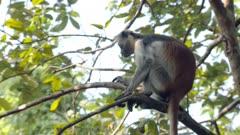 Zanzibar Red Colobus monkey adult feeds lazily in tree; scratches chest; baby Zanzibar Red Colobus monkey plays in background.