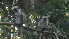 Two baby Zanzibar Red Colobus monkeys playing in a tree