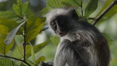 Baby Zanzibar Red Colobus monkey sitting in tree; scratches chest and arm