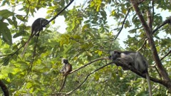 Adult Zanzibar Red Colobus monkey with two babies; one baby leaps on the other and they try to pull one another out of the tree