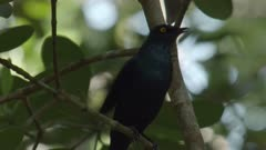Cape Glossy Starling bird sitting in a tree in a mangrove