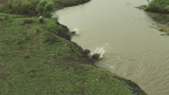 Aerial - Hippos and scores of Nile-Crocodiles entering into water of a river