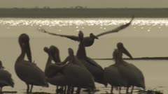 Great White Pelicans and Red-knobbed Coots standing at the edge of the water; one Pelican flies by