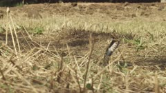 African Cape Cobra in dry grass