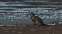 Double-crested Cormorant eating a captured fish