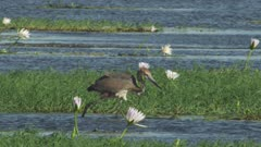 Goliath Heron wading in the water, hunting, surrounded by White Egyptian Lotus