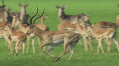 Antelope, possibly Impala, and Waterbuck grazing in a clearing; Male Impala chases another male away