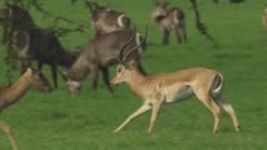 Antelope, possibly Impala, and Waterbuck grazing in a clearing; Male Impala chases a female Impala, possibly attempting to mate