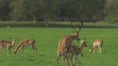 Antelope, possibly Impala, and Waterbuck grazing in a clearing; Male Impala attemps to mate with female