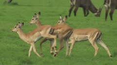 Antelope, possibly Impala, and Waterbuck grazing in a clearing; Male Impala chases female Impala, possibly attempting to mate