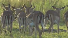 Antelope, possibly Impala, grazing in the savanna