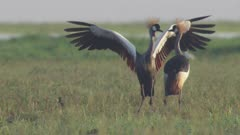 Grey-crowned Crane performing courtship dance in field