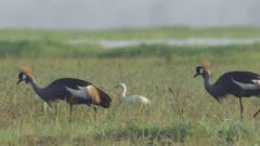 Grey-crowned Cranes in a field