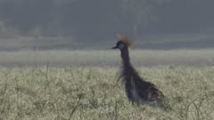 Grey-crowned Crane in a field