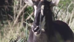 Sable Antelope in tall grass; close up on horns