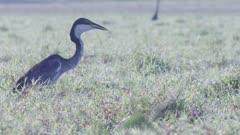 African Darter hunting in the grassland