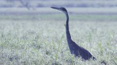 African Darter in the grassland