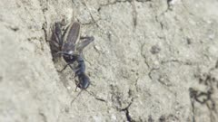 Matabele ants raiding a termite mound