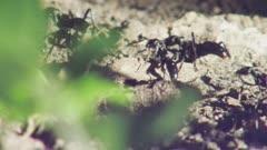 Matabele ants raiding column leaving their nest