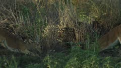 Two male Impala fighting on floodplain
