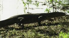 Monitor Lizard walking along river bank