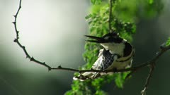 Pied Kingfisher perched on branch scratches side with leg
