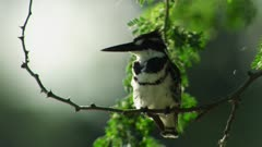 Pied Kingfisher poops while perched on branch