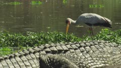 Yellow-billed Stork feeding in shallow water next to Nile Crocodile