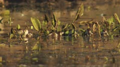 Egyptian Goslings swimming in the reeds